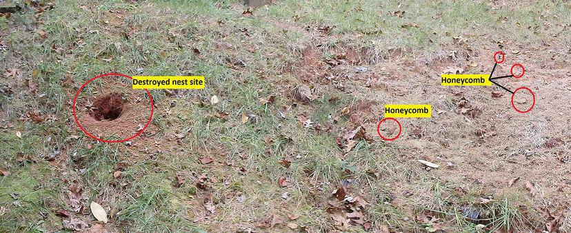 Crime Scene Large Yellow Jacket Nest Found