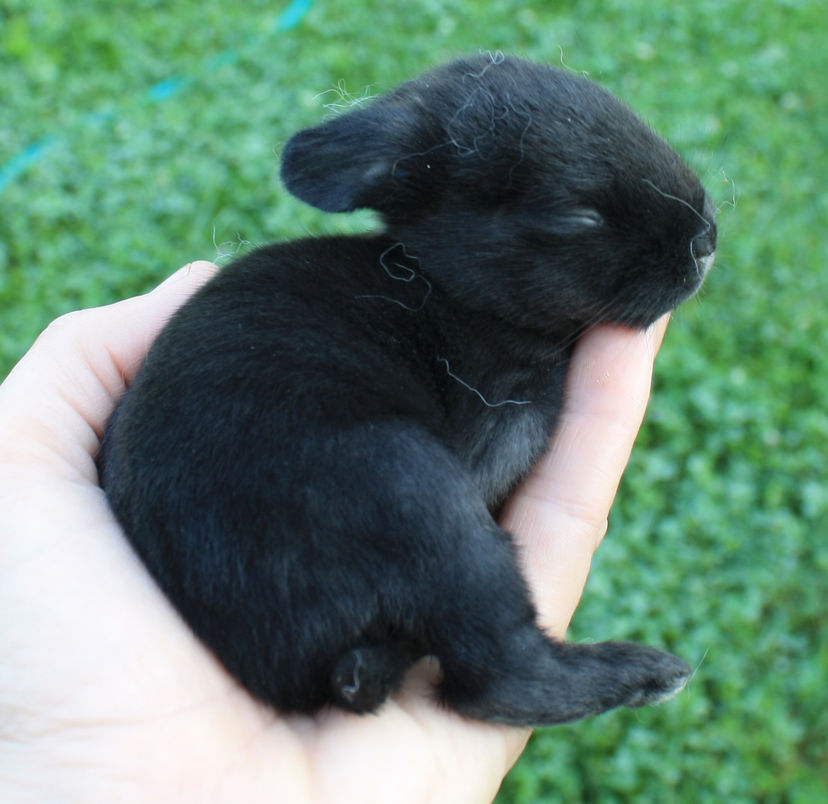 10 day old baby bunny