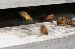 bee crop11