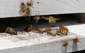 bee crop12